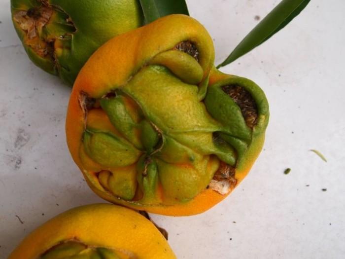 Начинающий садовод вырастил у себя дома апельсины-мутанты