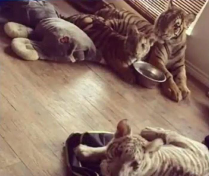 Техасская полиция арестовала женщину, державшую в доме трех тигров