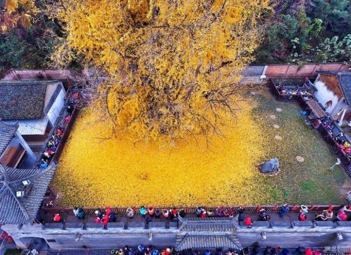 1400-летнее дерево сбросило осенние листья и это что-то невероятное (6 фото)