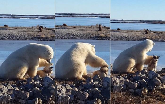 Трогательный момент белый медведь гладит собаку