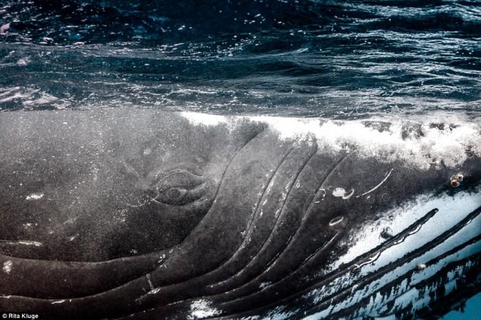 Потрясающие снимки горбатых китов