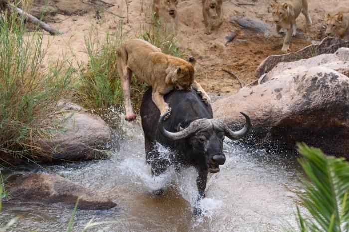 Драматические кадры: голодная львица напала на буйвола