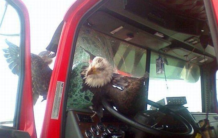 Орел врезался в автомобиль (3 фото)