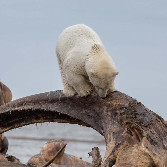 Голова белого медведя застряла в костях кита