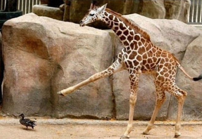 Как дерутся жирафы (7 фото)