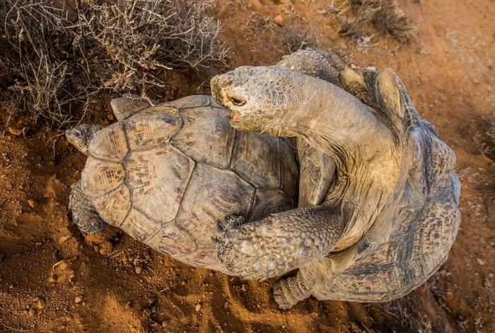 Как спариваются черепахи