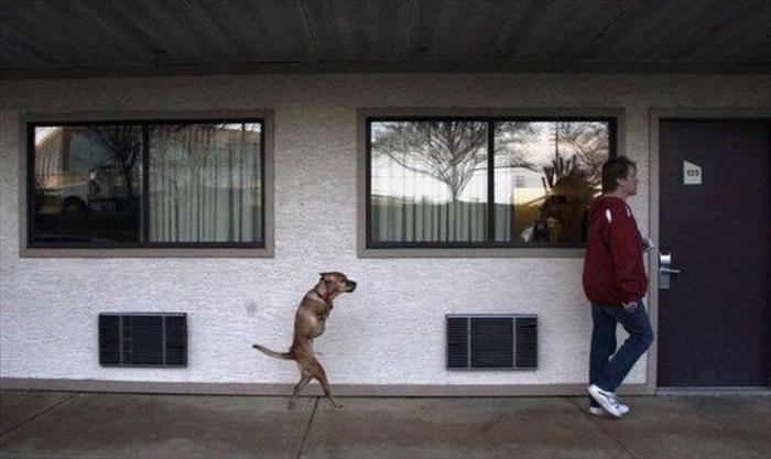 Собака ходит как человек (20 фото)