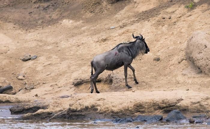 Антилопе посчастливилось вырваться из пасти крокодила