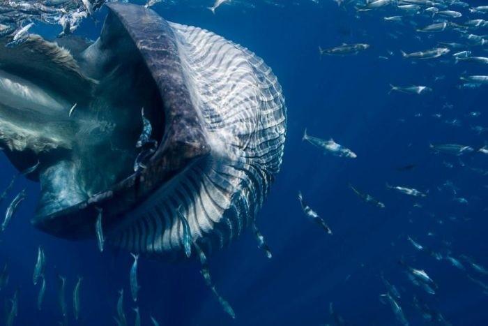 Дайвер едва не угодил в пасть киту