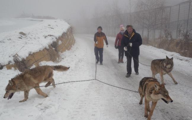 Китайский бизнесмен содержит волчью стаю в 150 голов