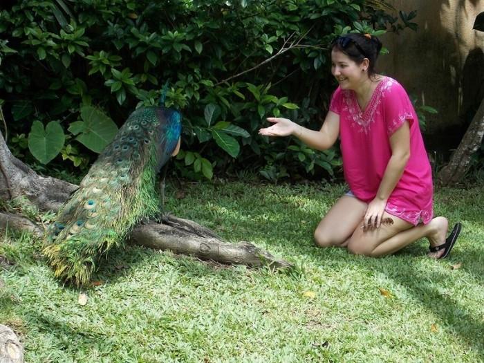 Злой павлин в контактном зоопарке