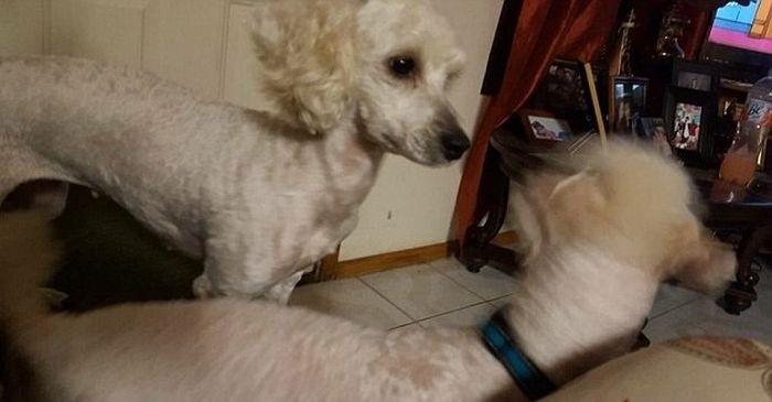 У белой собаки родились абсолютно чёрные щенки