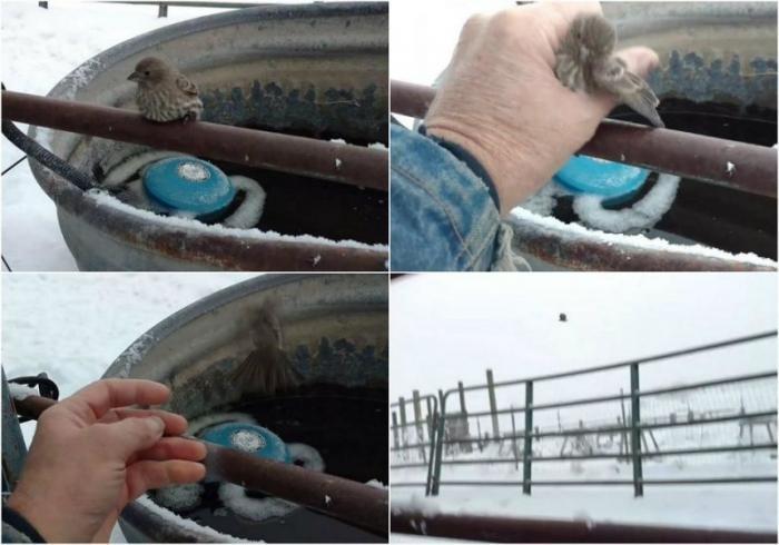Добрый человек спас птичку, примерзшую к трубе (6 фото)
