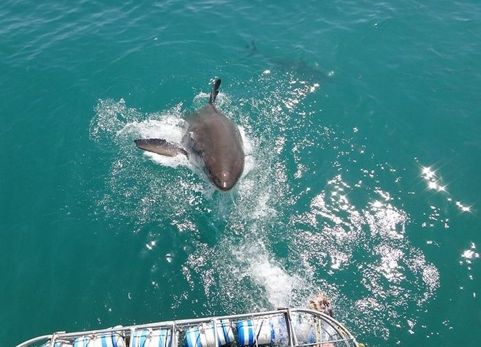 Встреча туристов с большой белой акулой в ЮАР