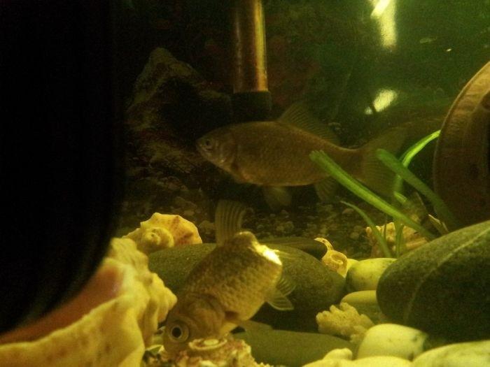 Аквариумная рыбка научилась жить без части тела
