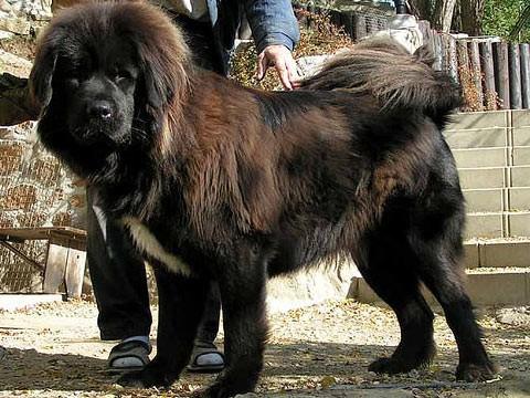 Самая дорогая в мире собака в Китае