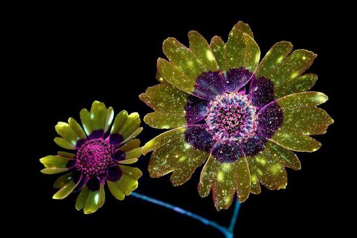 Фотографии цветов, освещённых ультрафиолетом