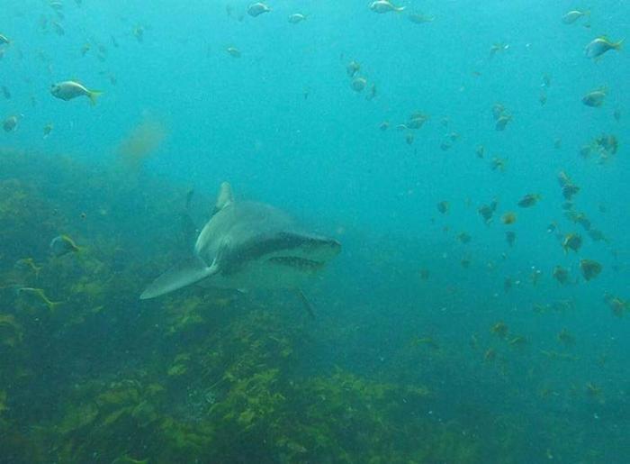 В течении 7 лет акула приплывает, чтобы пообниматься с дайвером (9 фото)