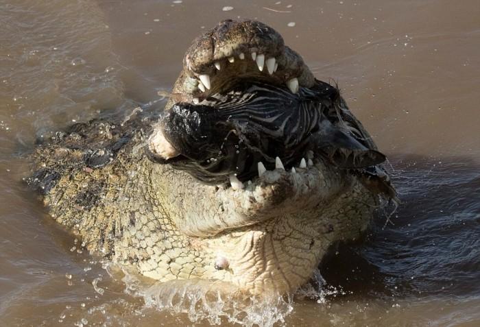 Жестокий момент: крокодил пытается проглотить голову зебры
