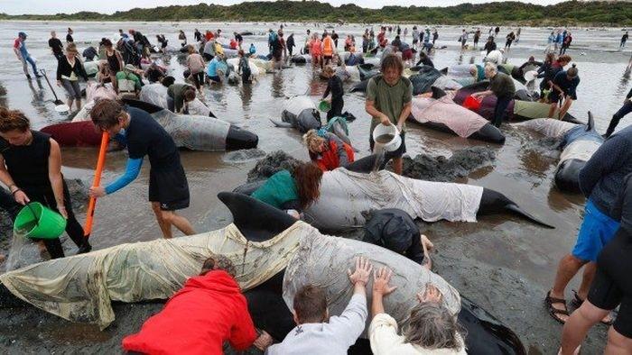 Более 400 дельфинов выбросились на берег Новой Зеландии
