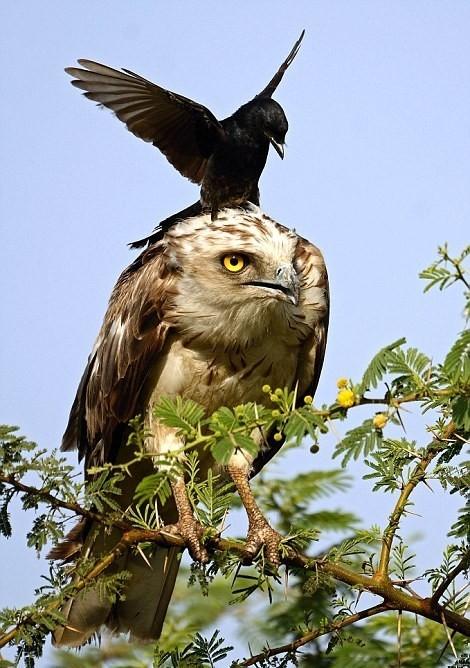 Cмелая ворона против орла