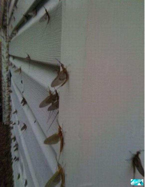 Жуткое нападение мух (5 фото)