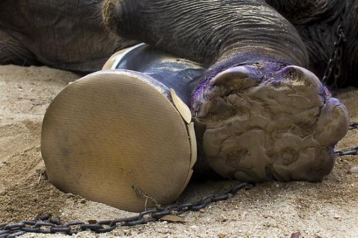Протез для слона (10 фото)
