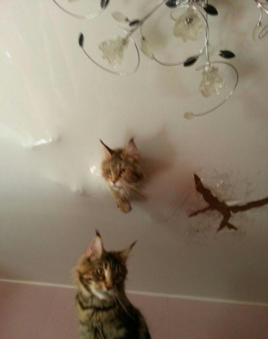 Сообразительные кошки породы мейн-кун