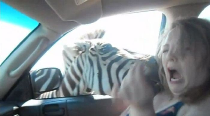 Злая зебра (11 фото)