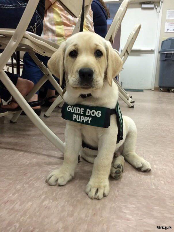 Служебные собаки в начале своей карьеры (9 фото)