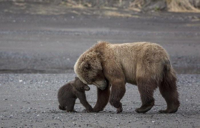 Мама-медведица с 4-месячными малышами (12 фото)