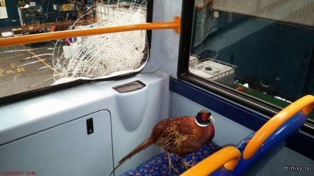 Фазан пробил лобовое стекло и прокатился на автобусе (3 фото)