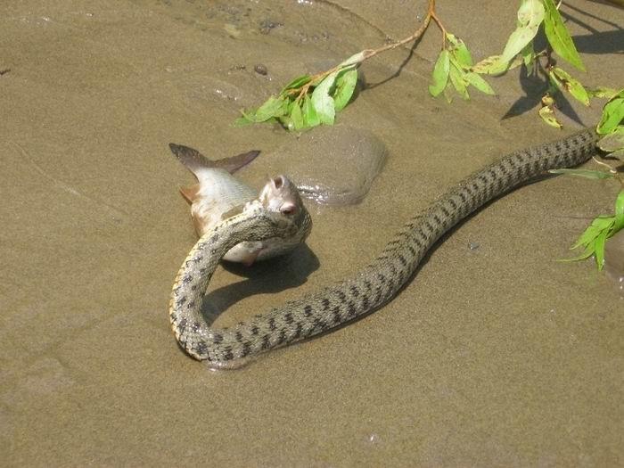 Змея - рыболов (5 фото)