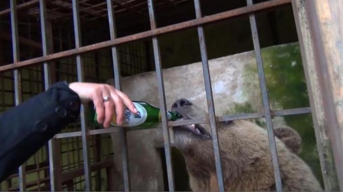 Жизнь албанского медведя после отказа от пива (13 фото)
