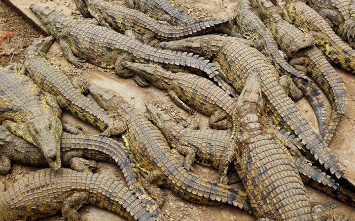 15 000 крокодилов в ЮАР терроризируют местных жителей (9 фото)