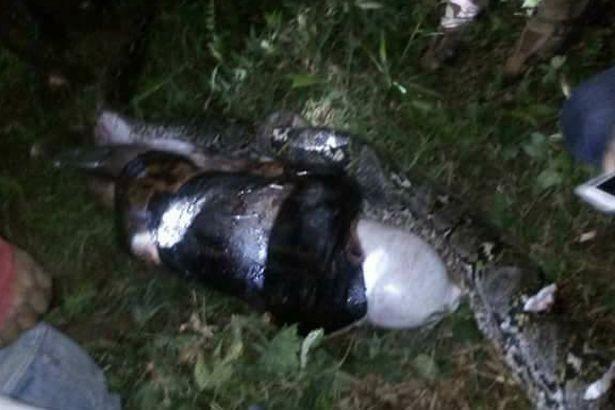 Жители деревни в Индонезии обнаружили соседа внутри убитого питона (4 фото)
