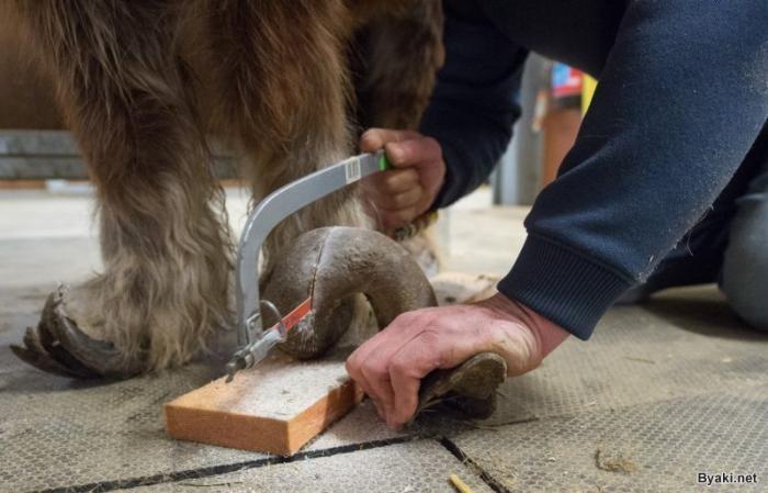 Копыта пони, которые не обрезали 10 лет (11 фото)