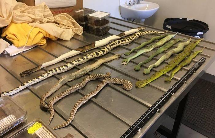 В Австралию под видом обуви прислали коробку с ядовитыми змеями (4 фото)