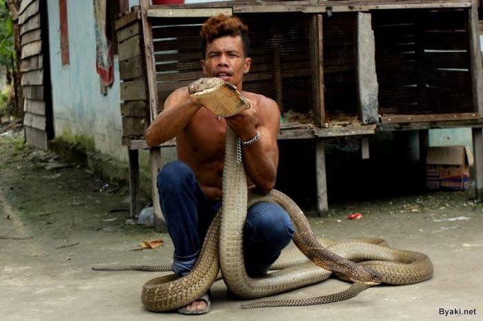 Заклинатель змей поймал две 4-метровые кобры и руками удалил у них зубы (18 фото)
