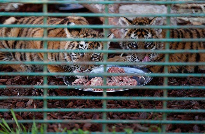 В аэропорту Бейрута внутри ящика обнаружили трех сибирских тигрят (5 фото)