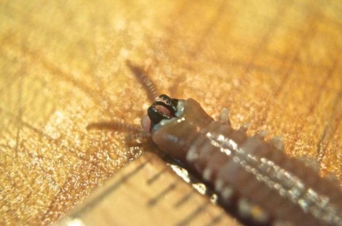 Познакомьтесь с хищным морским многощетинковым червем (21 фото)