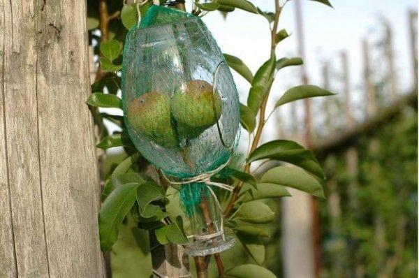 Груши в бутылках (9 фото)