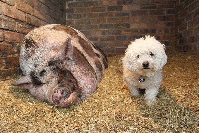 Будь начеку, покупая декоративную свинку (8 фото)