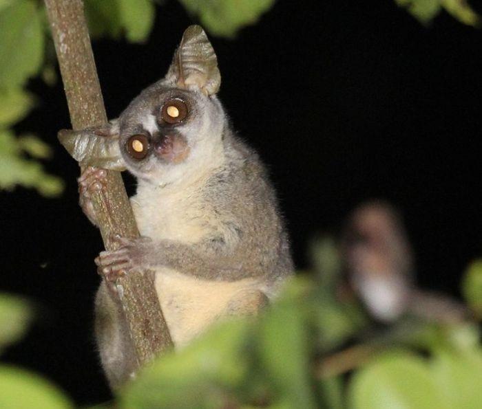 В Африке найден новый вид приматов (5 фото)