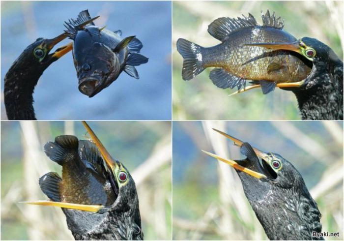 Голодная птица проглотила рыбу, которая в три раза больше её головы (6 фото)