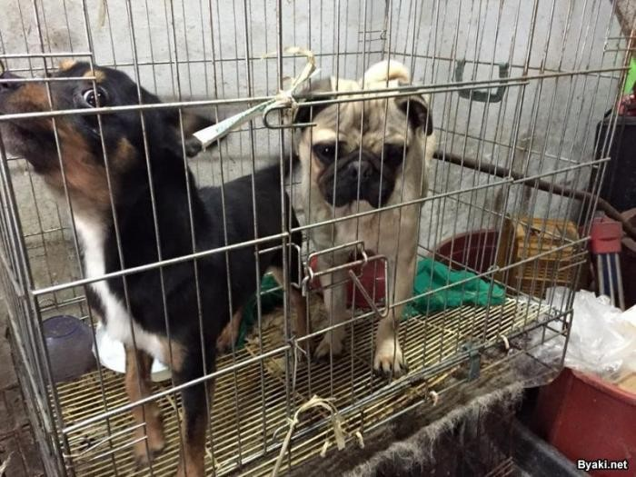 Смелый парень спасает животных от любителей собачьего мяса (7 фото)
