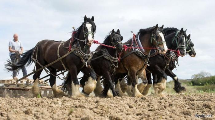 Крупные лошади-тяжеловозы заменяют фермеру трактор (6 фото)