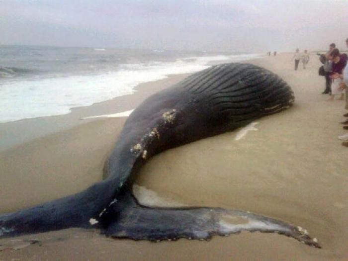 Почему киты и дельфины выбрасываются на берег (7 фото)
