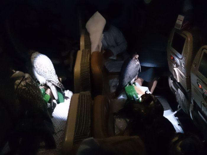 Миграция охотничьих соколов по-арабски (4 фото)