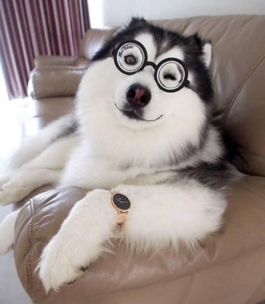 Хаски, похожий на панду, стал звездой «Инстаграм» (32 фото)
